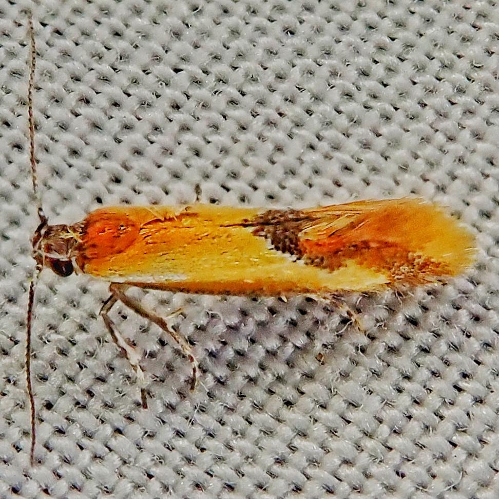 Batia lunaris (Lesser Tawny Crescent Moth)