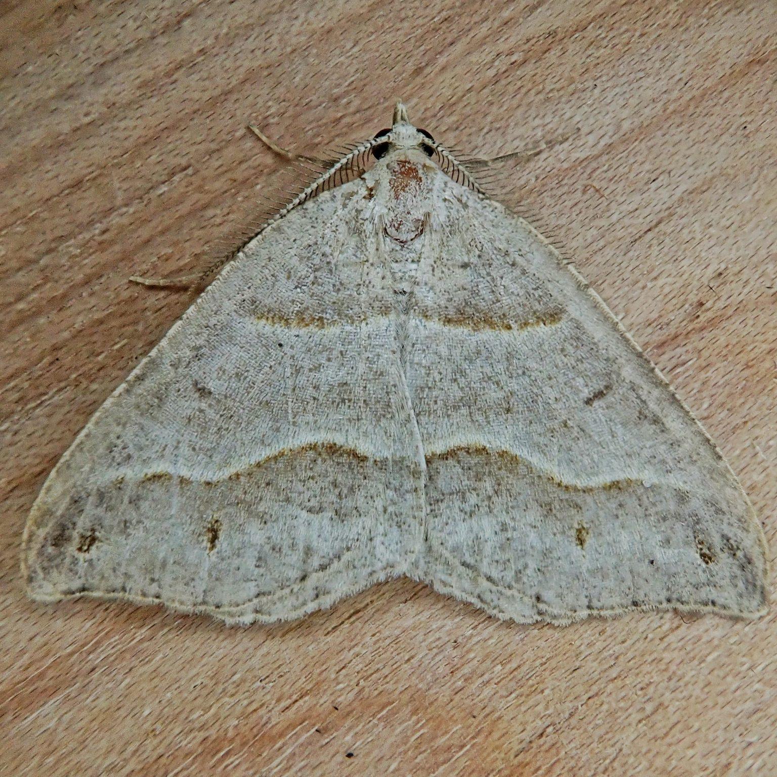 Lorquin's Angle Moth