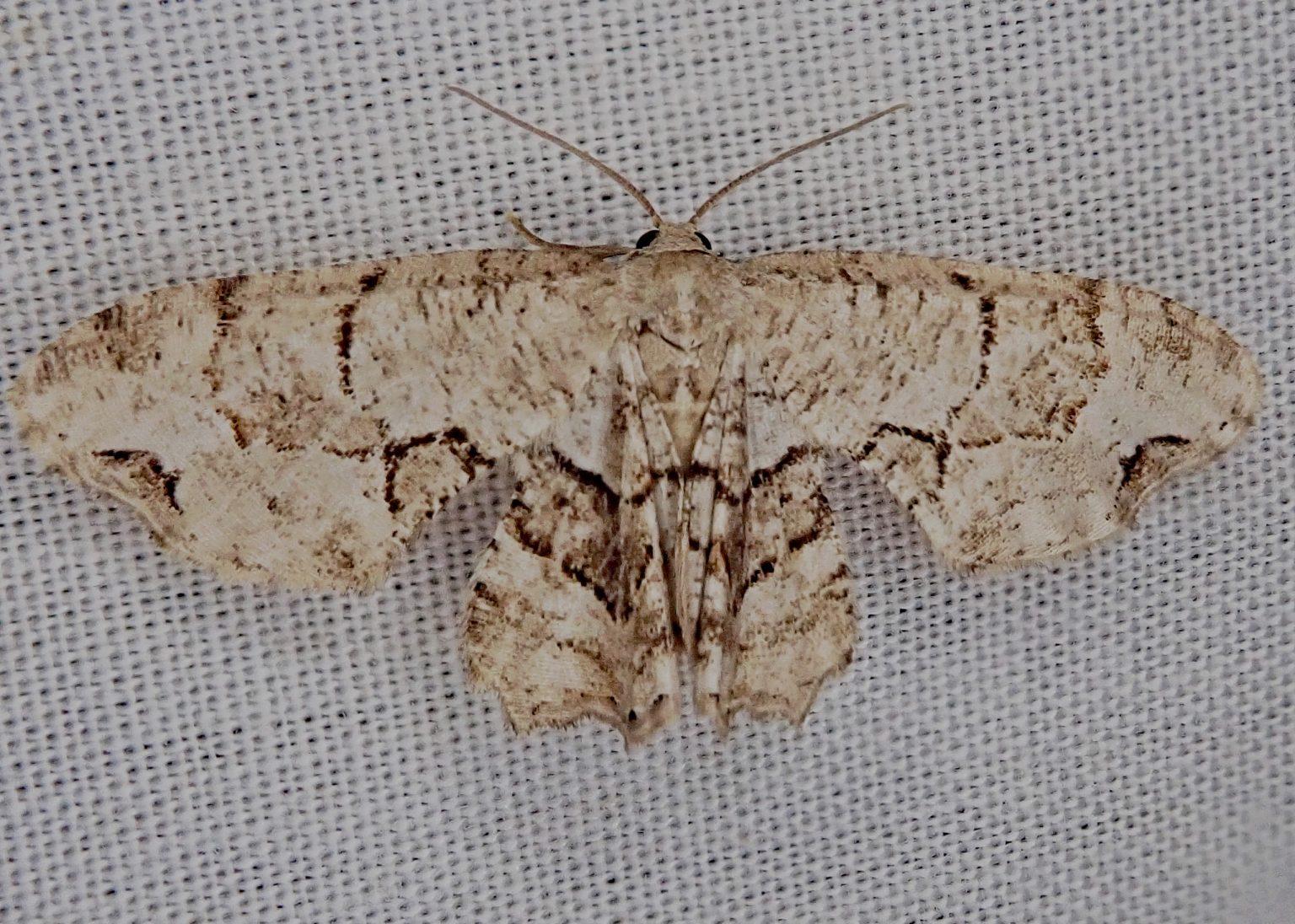 Gray Scoopwing Moth