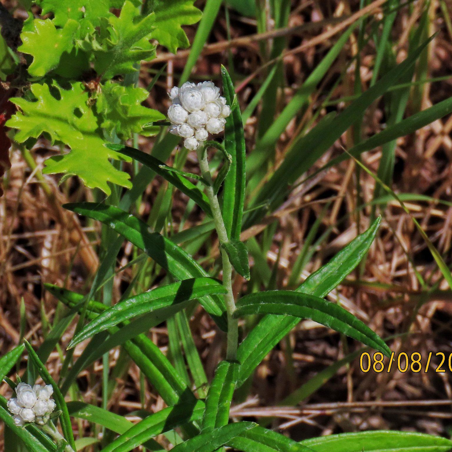 Anaphilas margaritacea