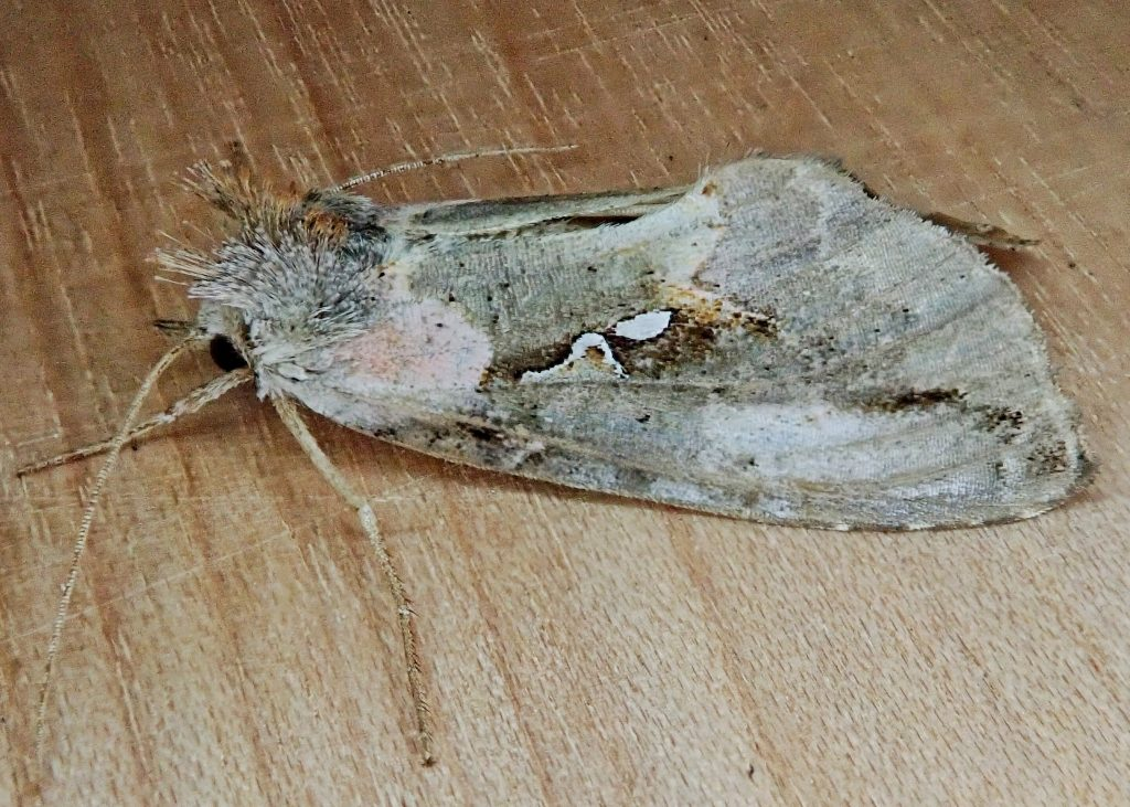 Pink-patched Looper Moth