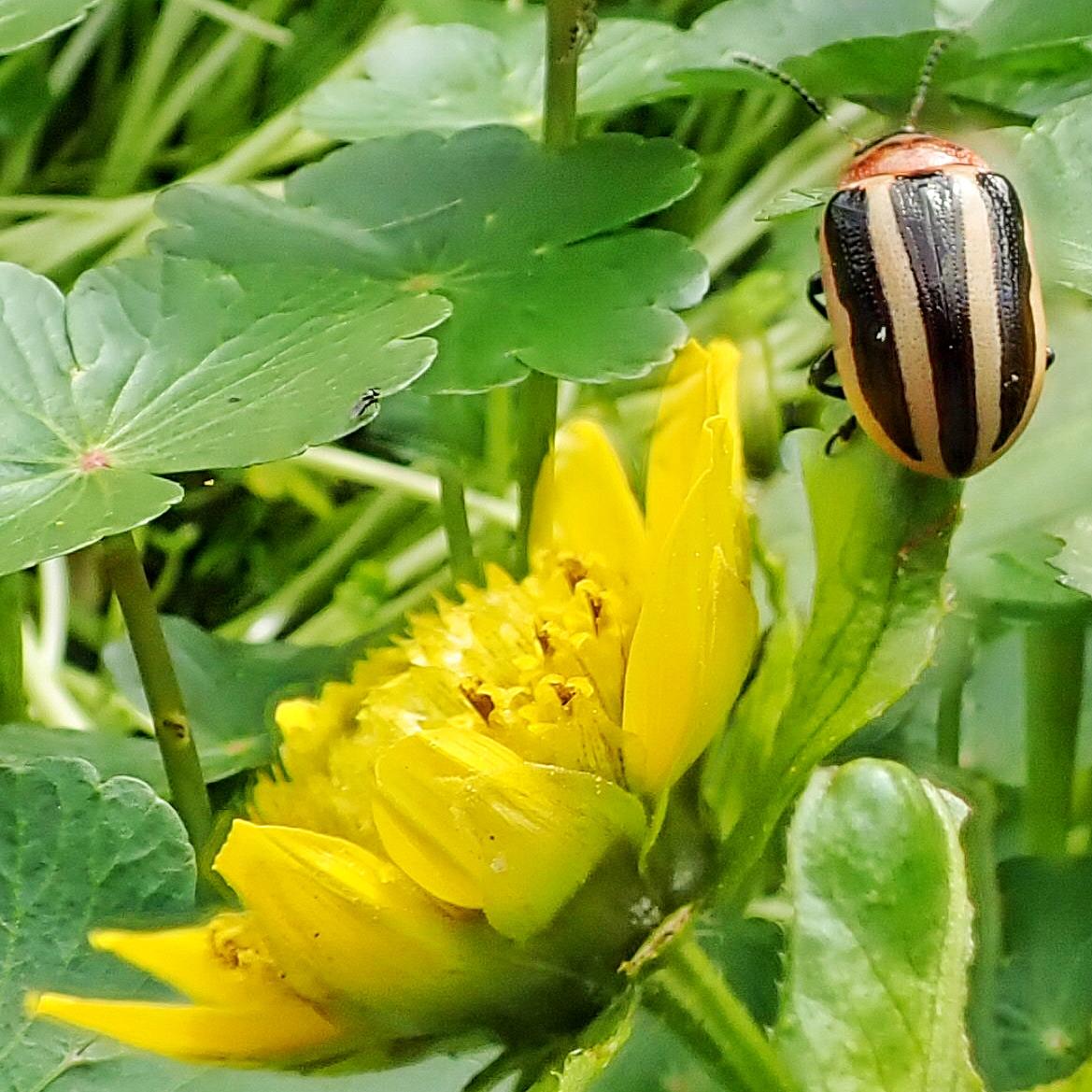 Coreopsis Beetle