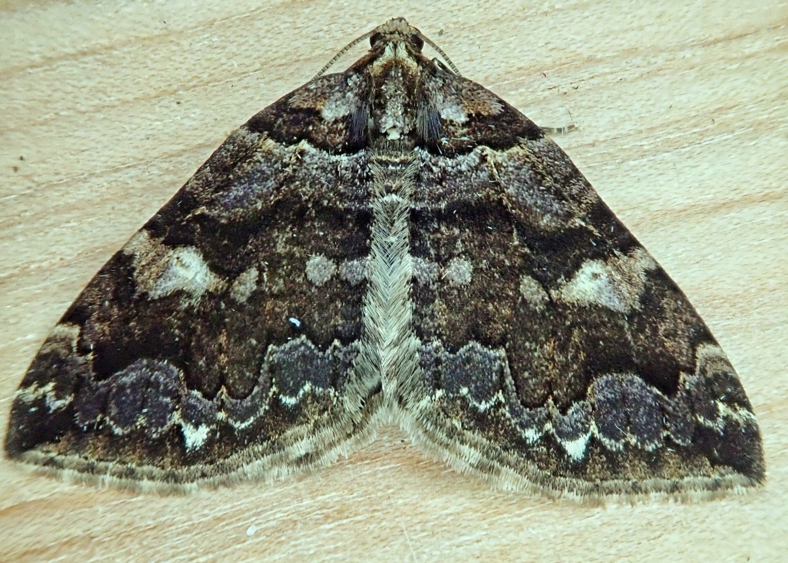 Anticlea vasiliata (Variable Carpet Moth)