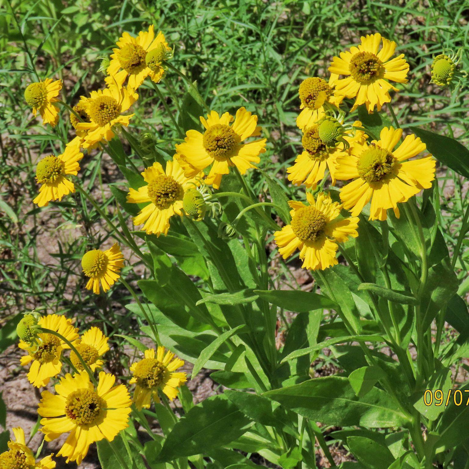 Large-flowered Sneezeweed