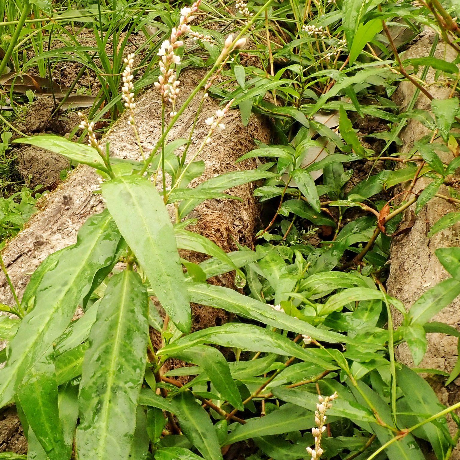 Persicaria maculosa  (Lady's Thumb)
