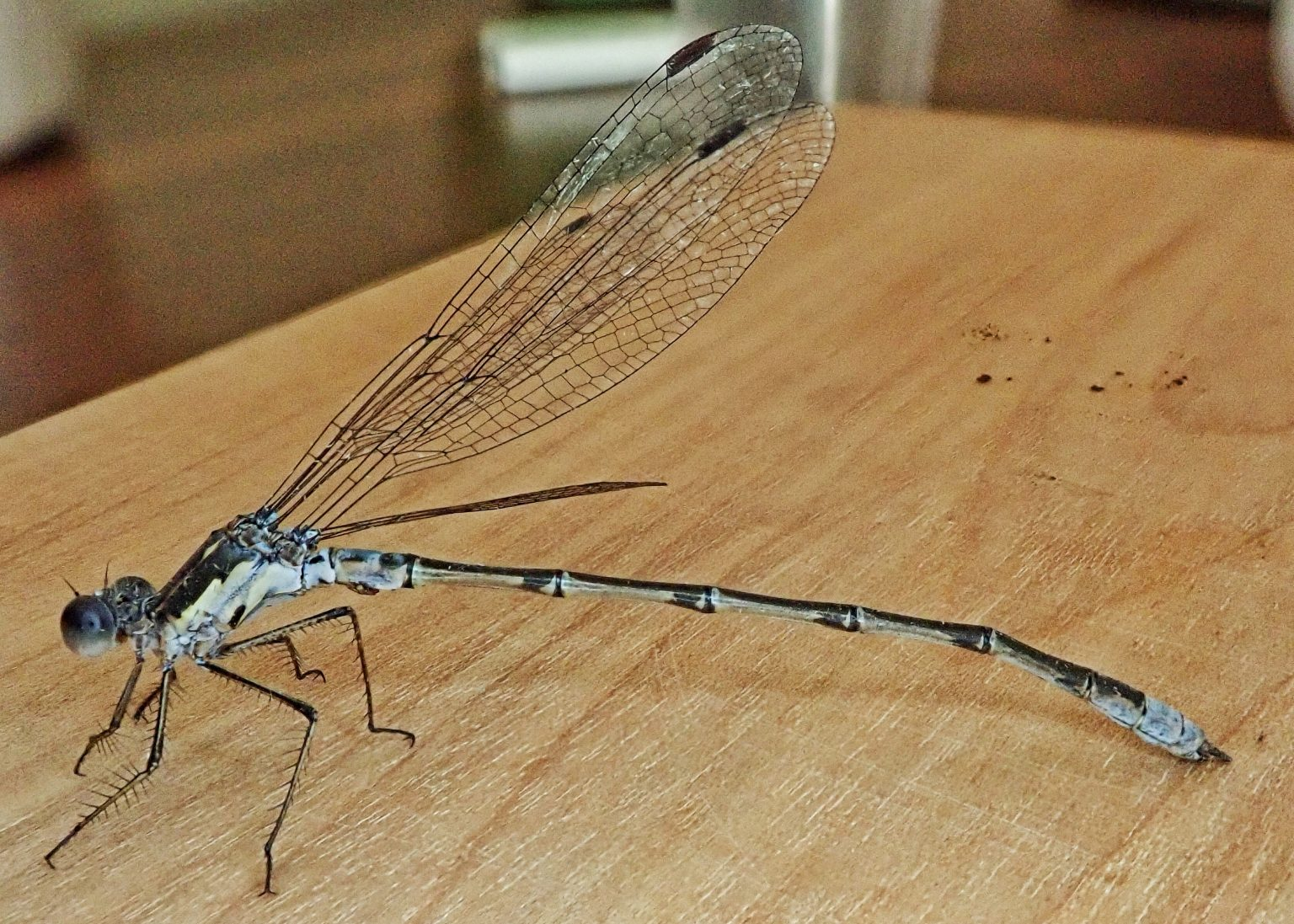 Lestes congener (Spotted Spreadwing)