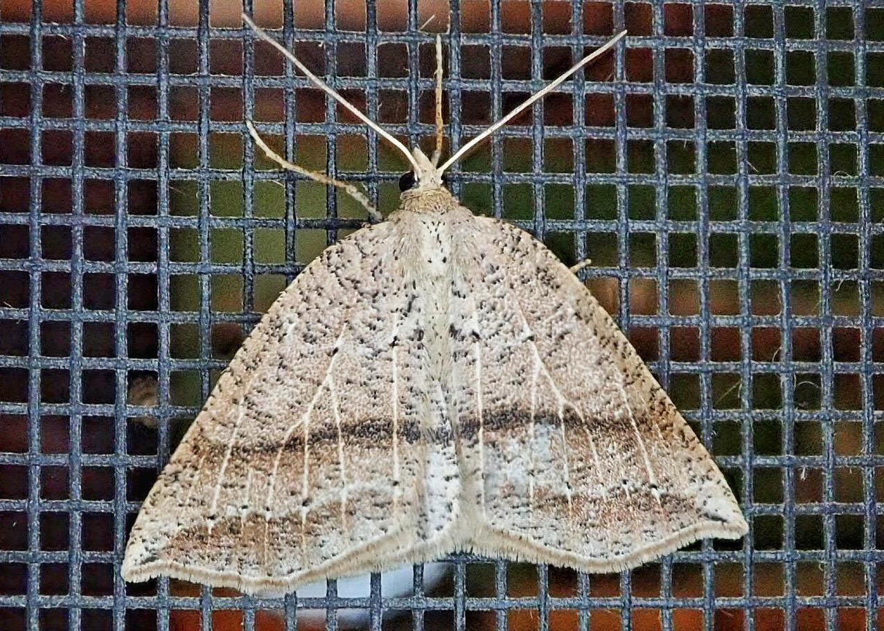Thallophaga taylorata