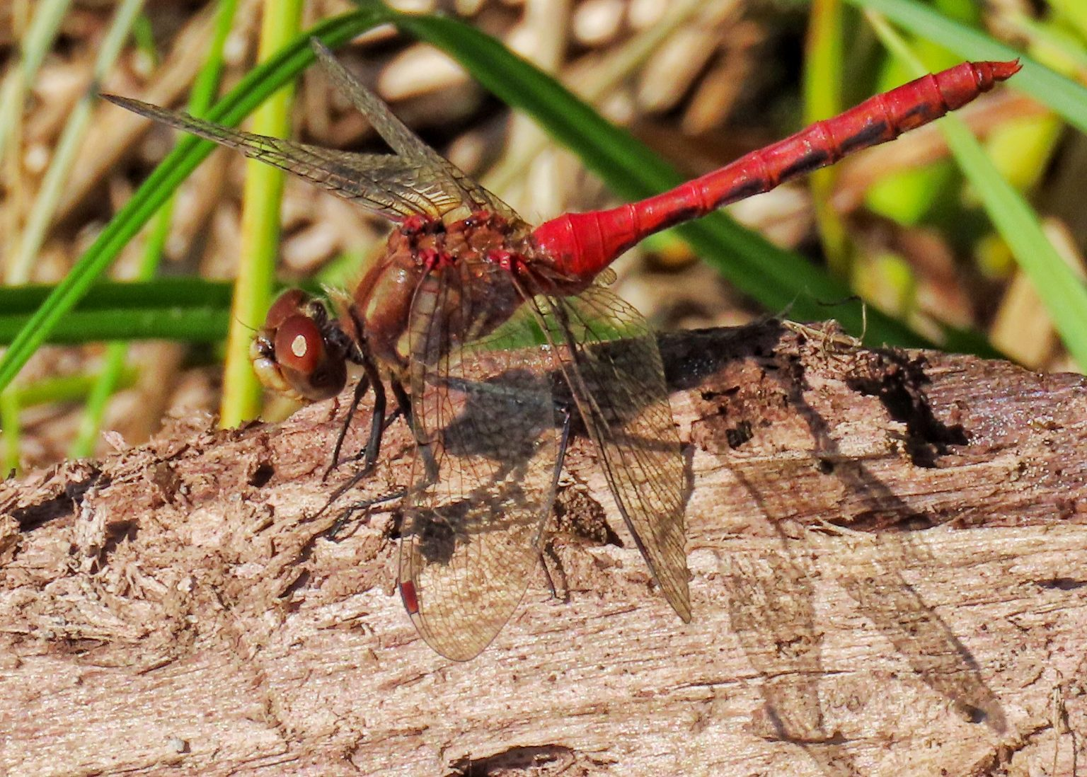 Sympetrum pallipes