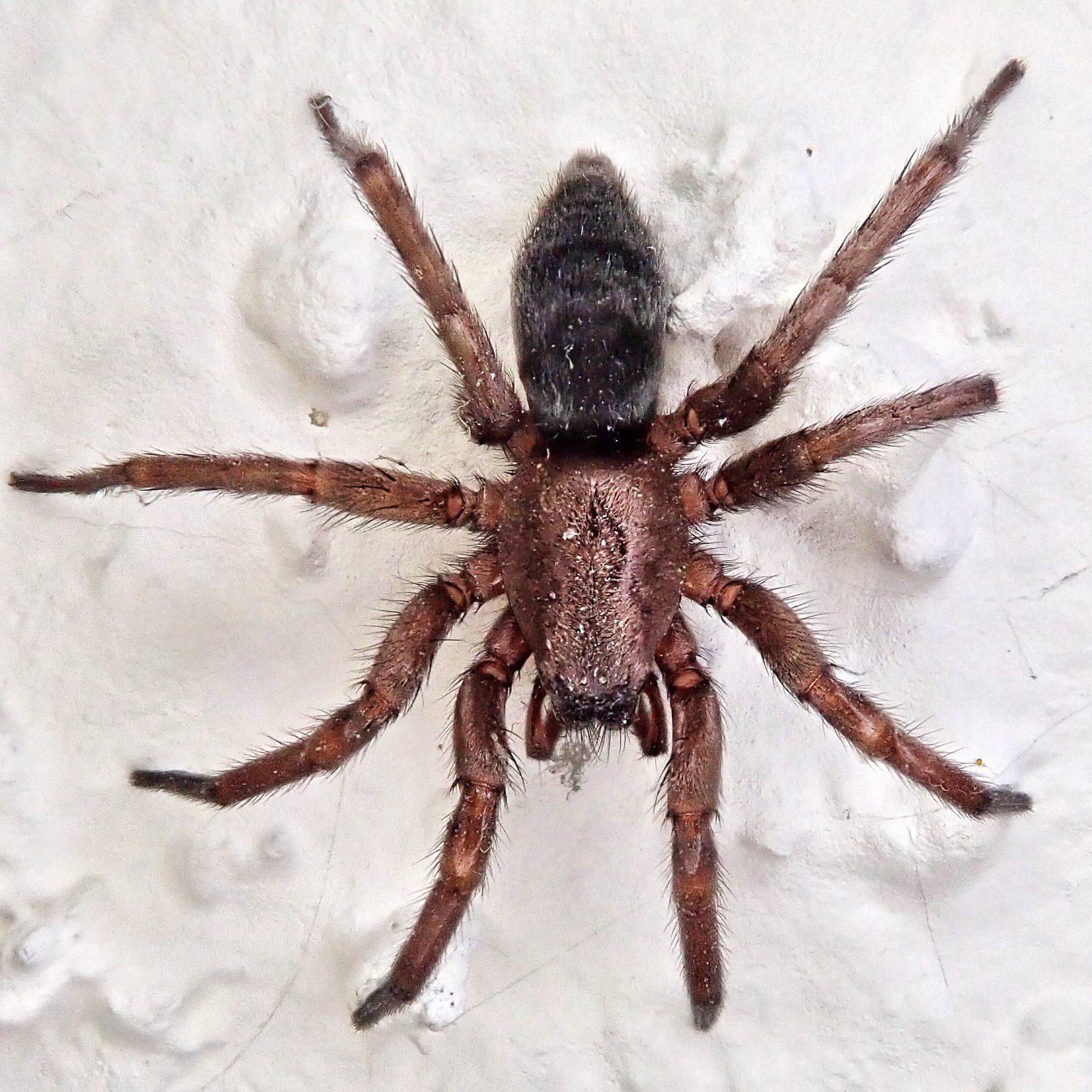 Scotophaeus blackwalli, Mouse Spider,