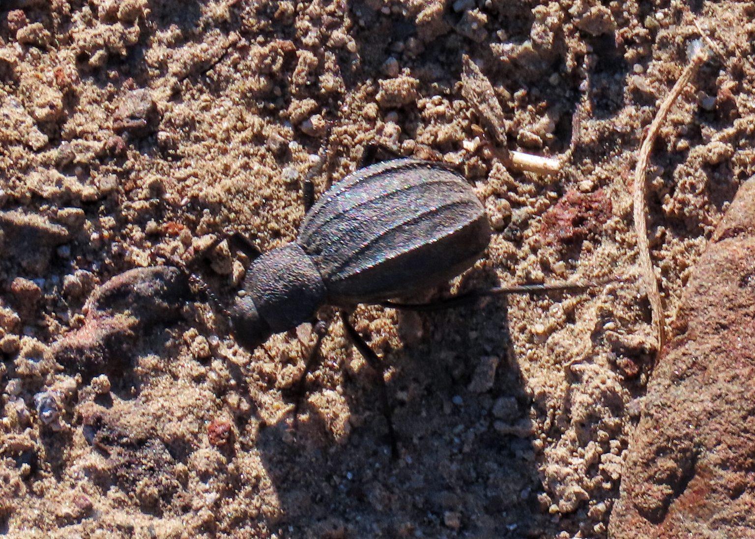 Philolithus densicollis