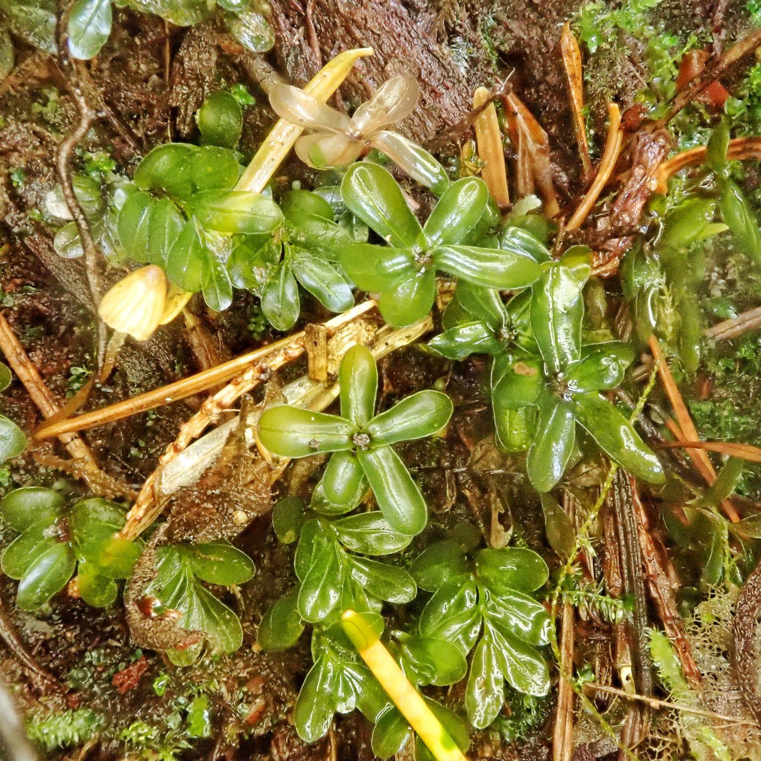 Rhizomnium glabrescens