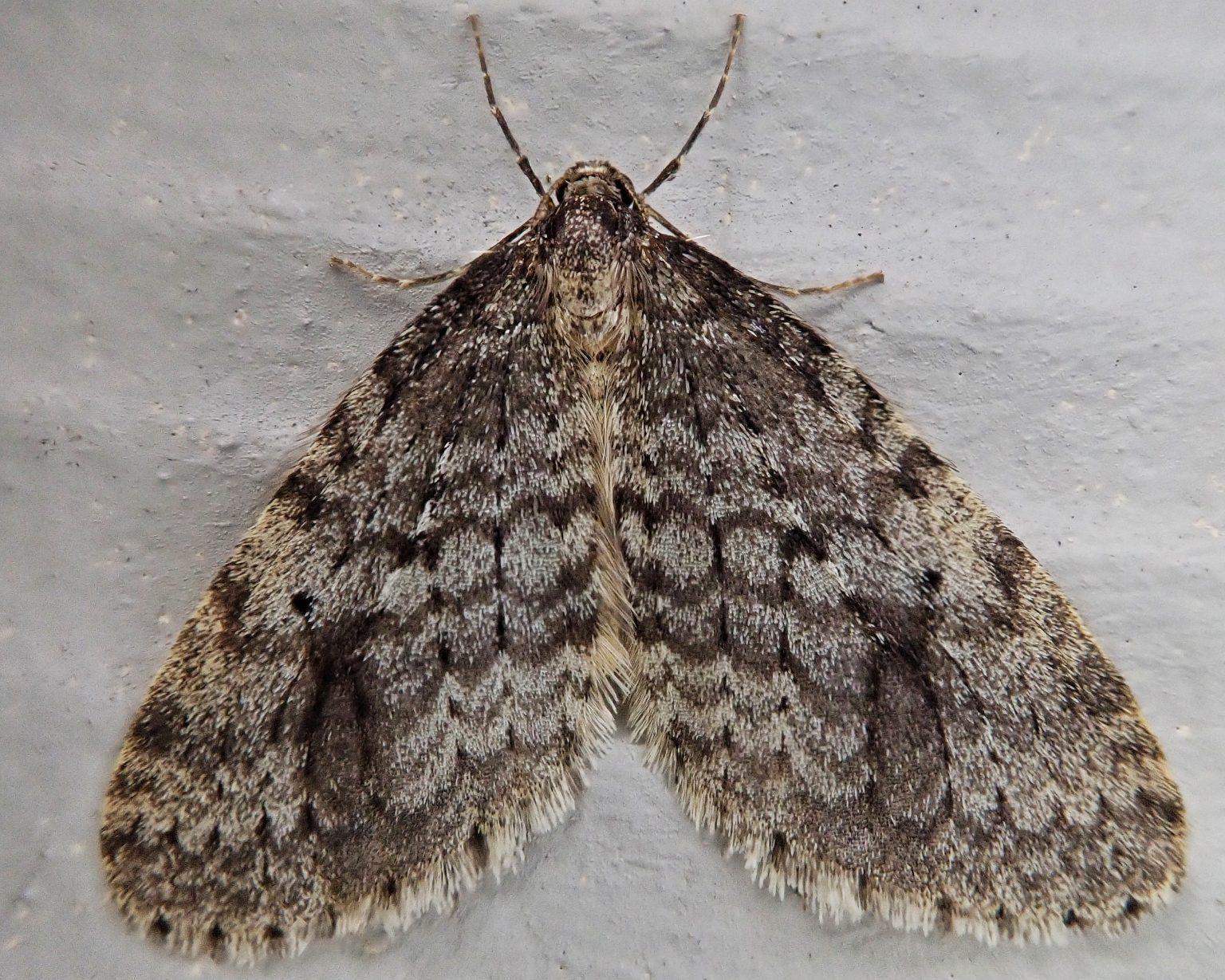 Operophtera occidentalis