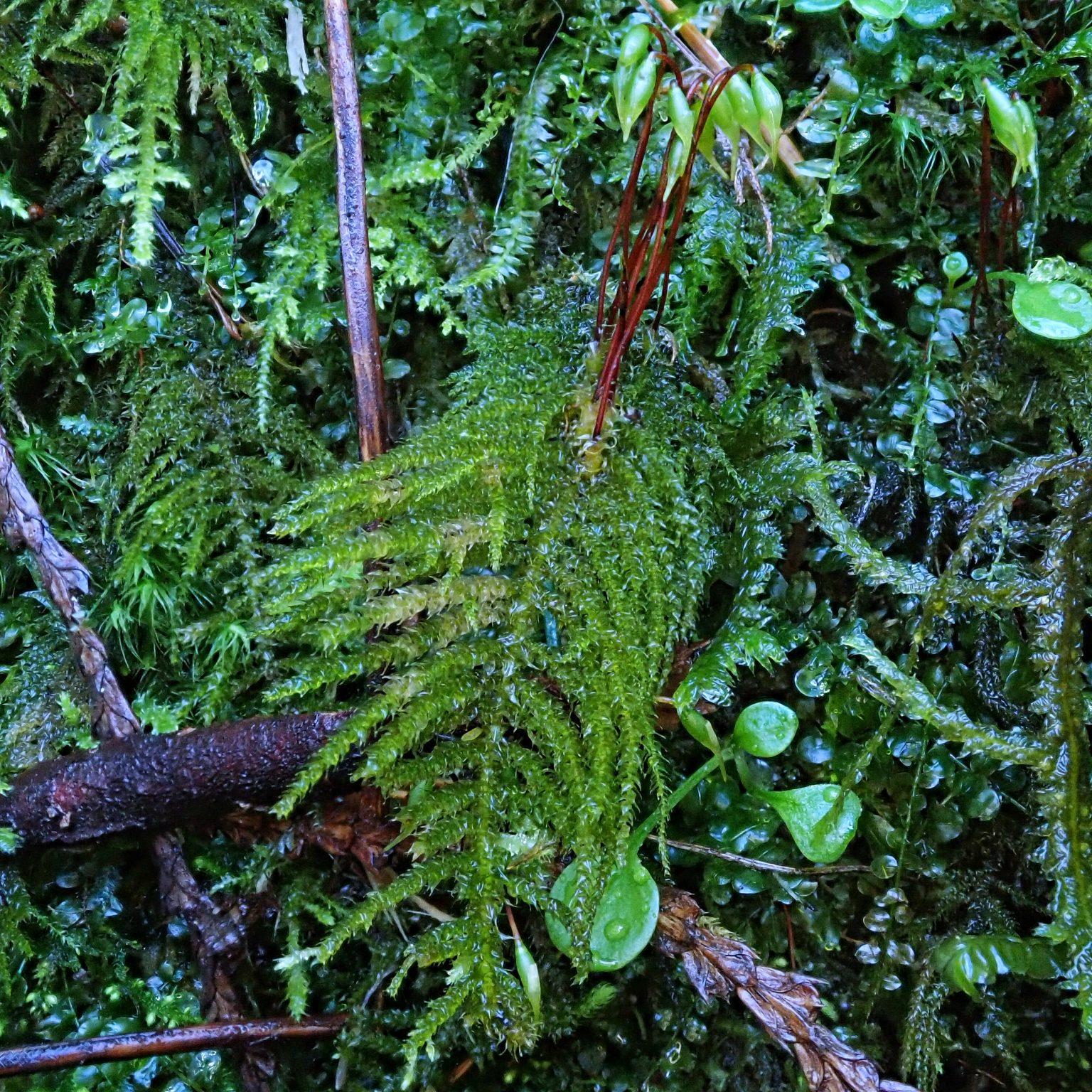 Kindbergia oregana