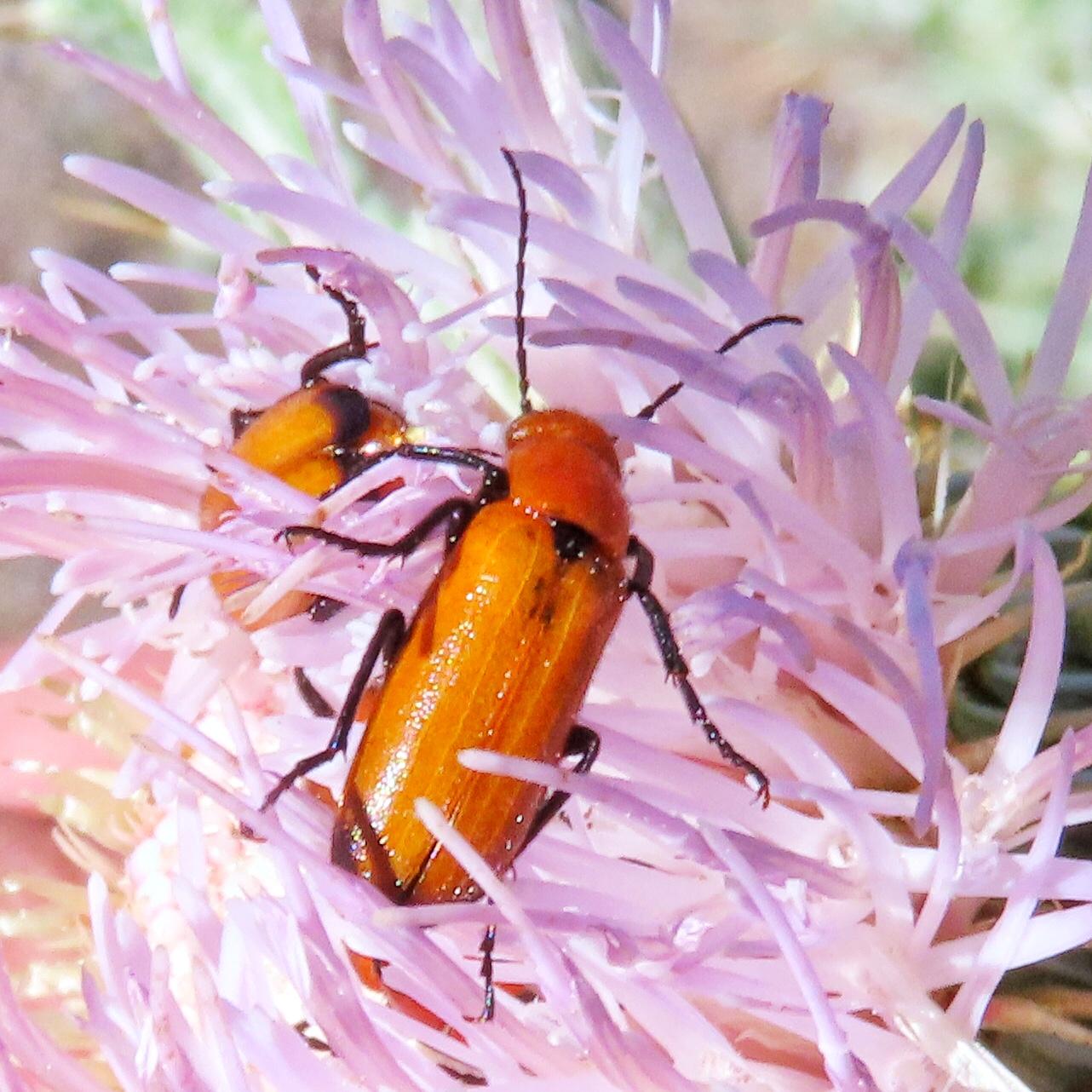 Nemognatha lutea