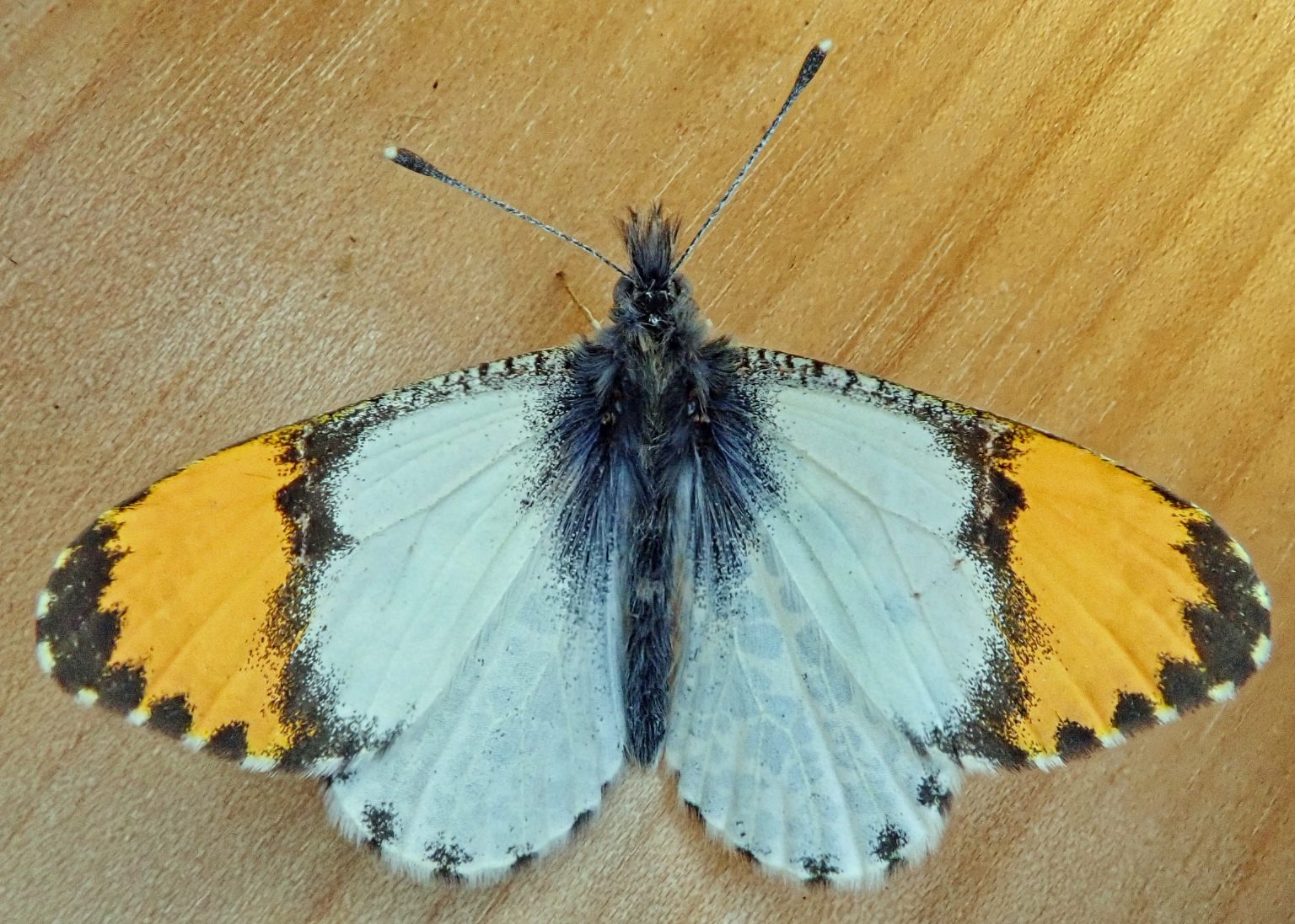 Anthocharis julia