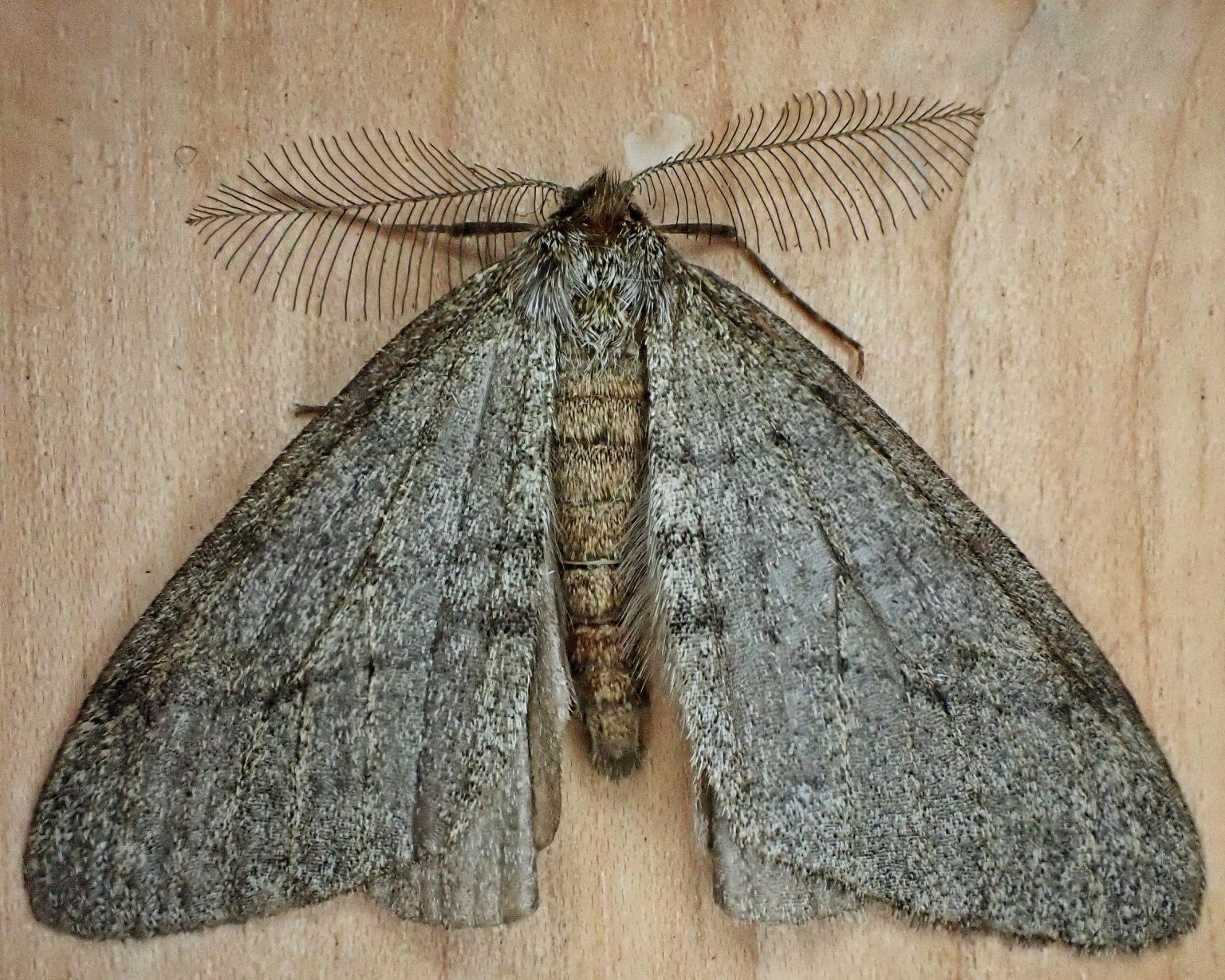 Phigalia plumogeraria