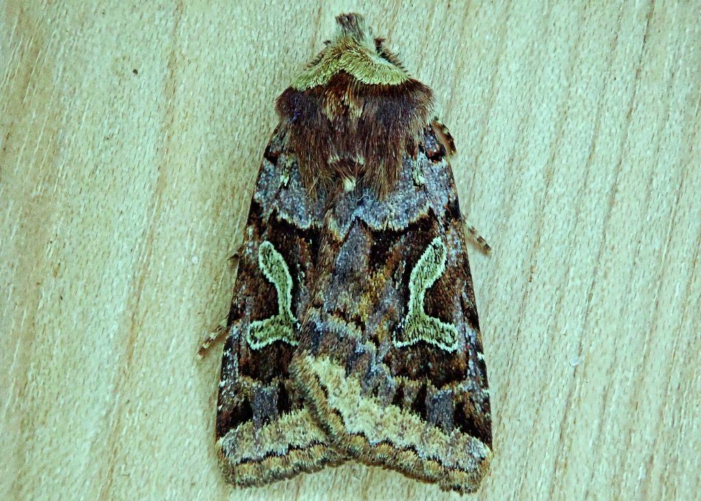 Cerastis enigmatica, Enigmatic Dart Moth,
