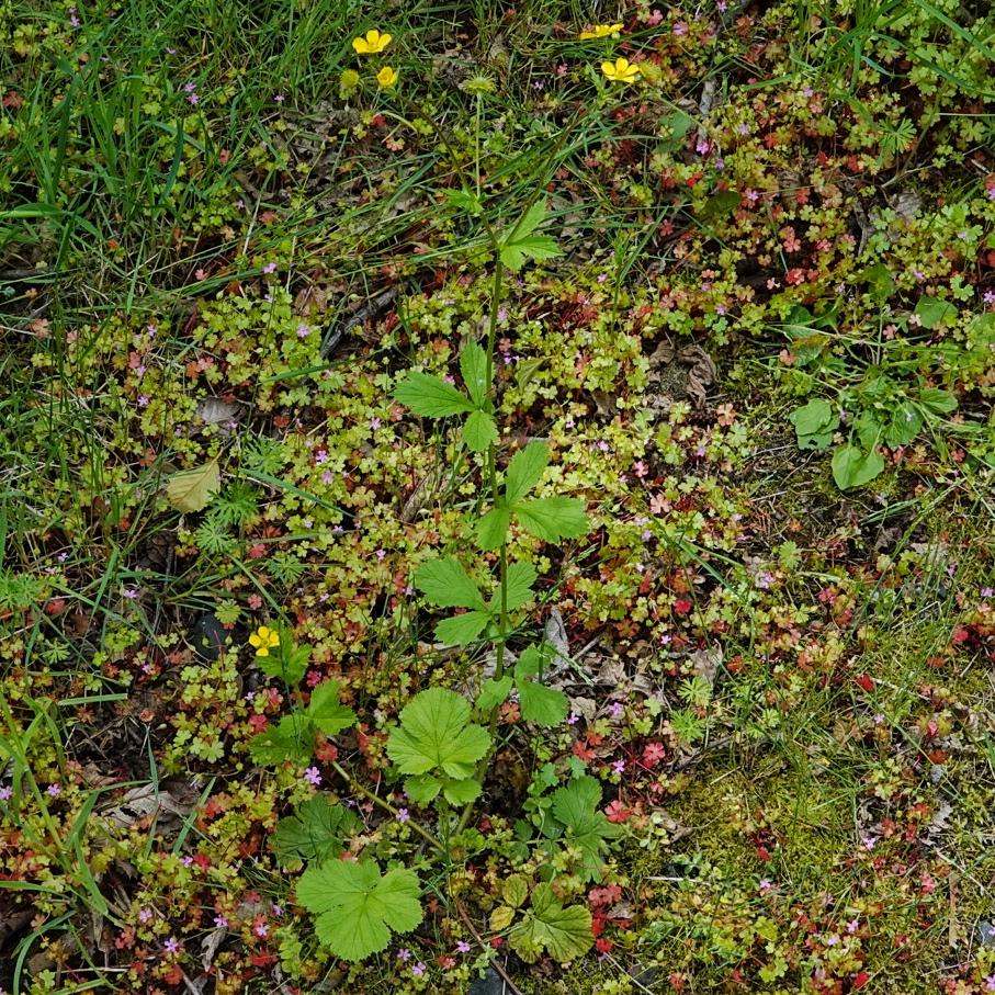 Geum macrophyllum, Large-leaved Avens,