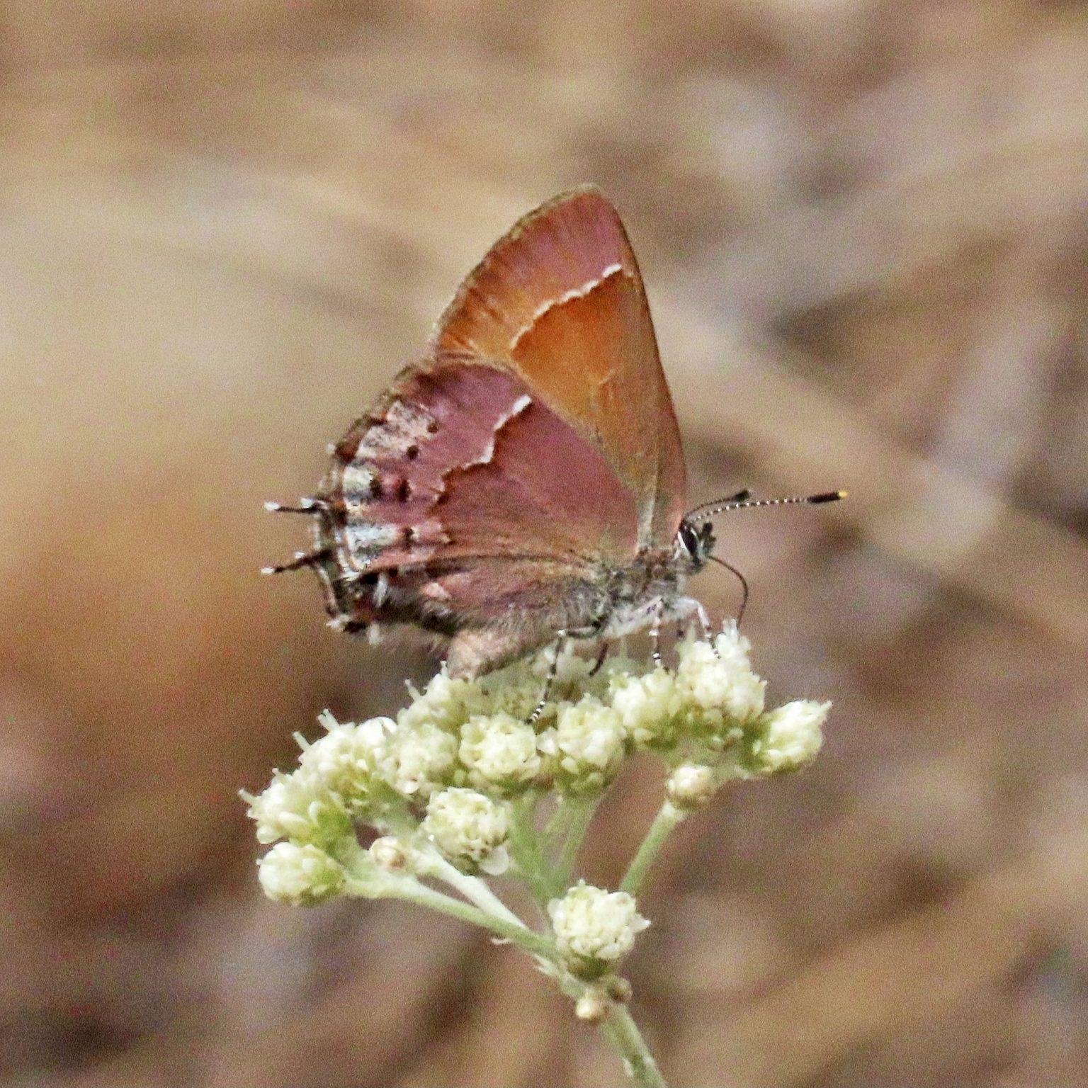 Callophrys gryneus