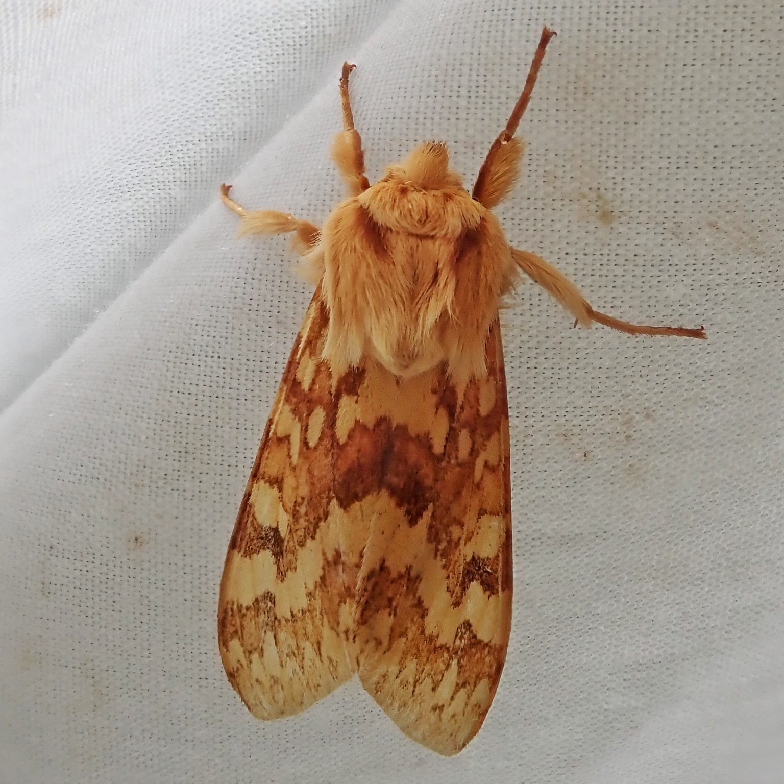 Lophocampa macuata