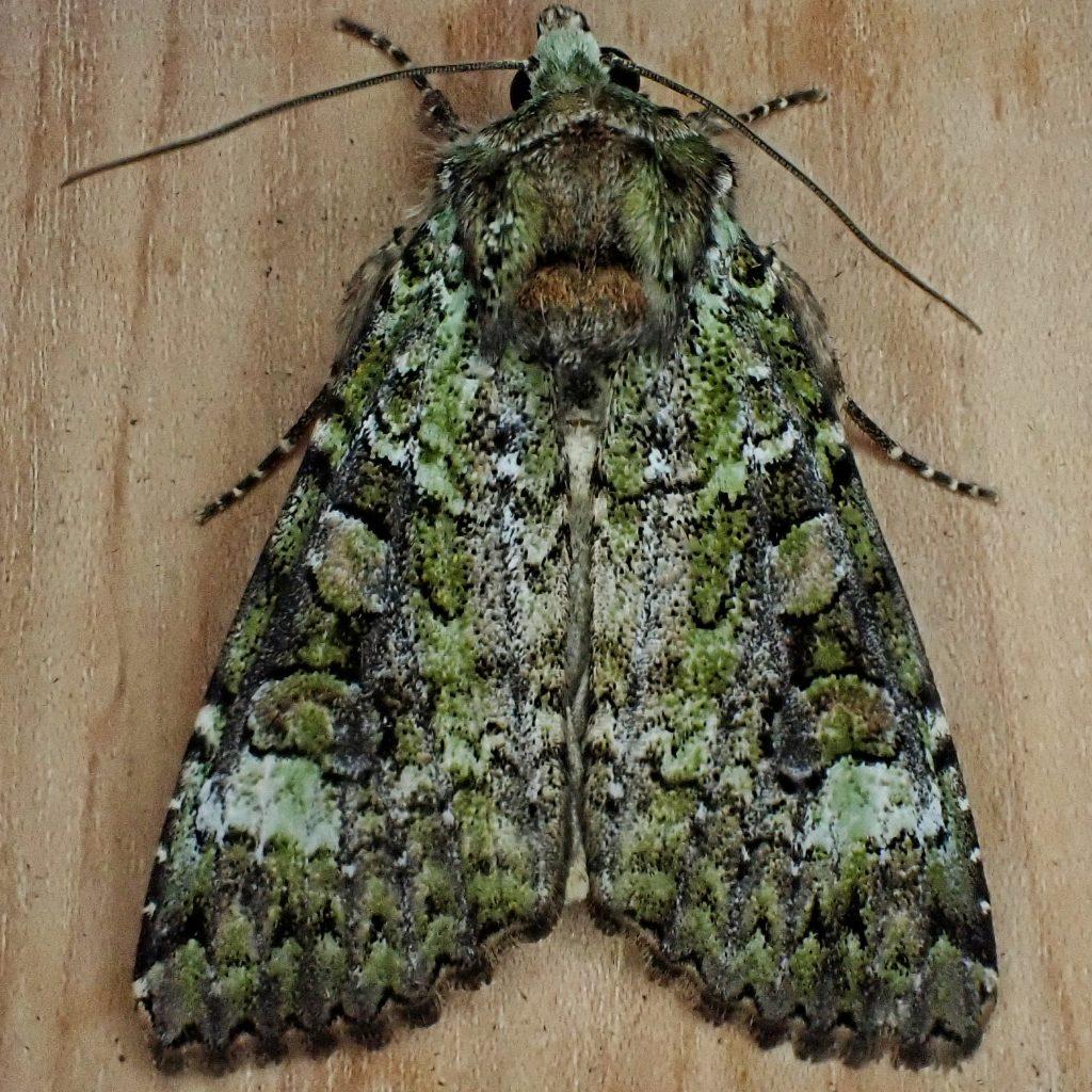 Anaplectoides prasina, Green Arches Moth,