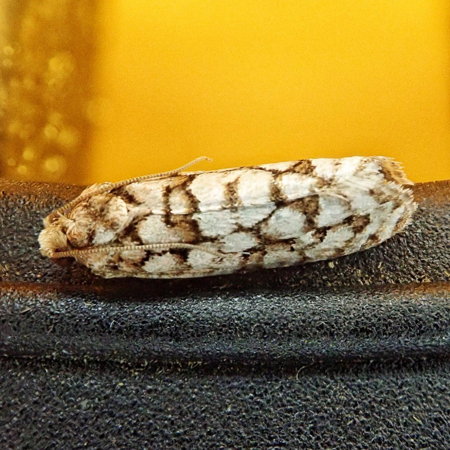 Eucopina siskiyouana
