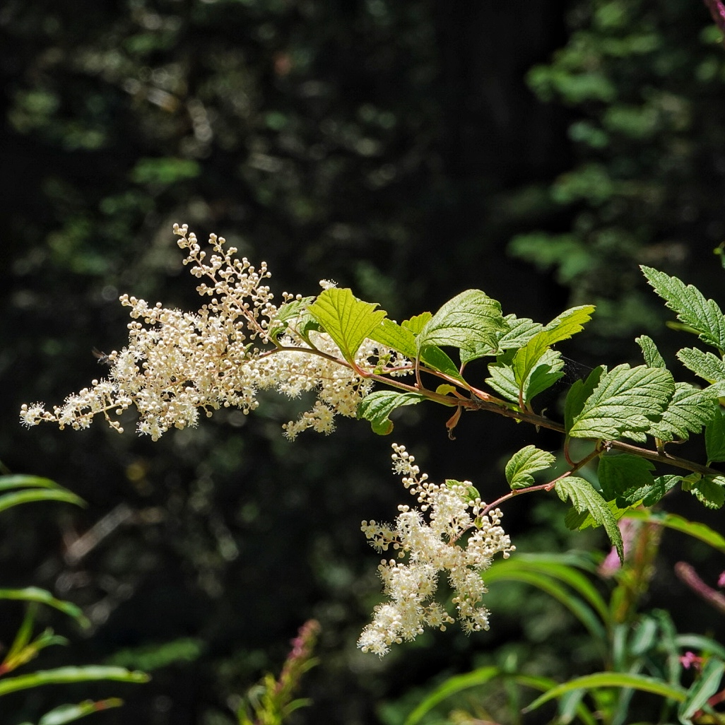 Holodiscus discolor