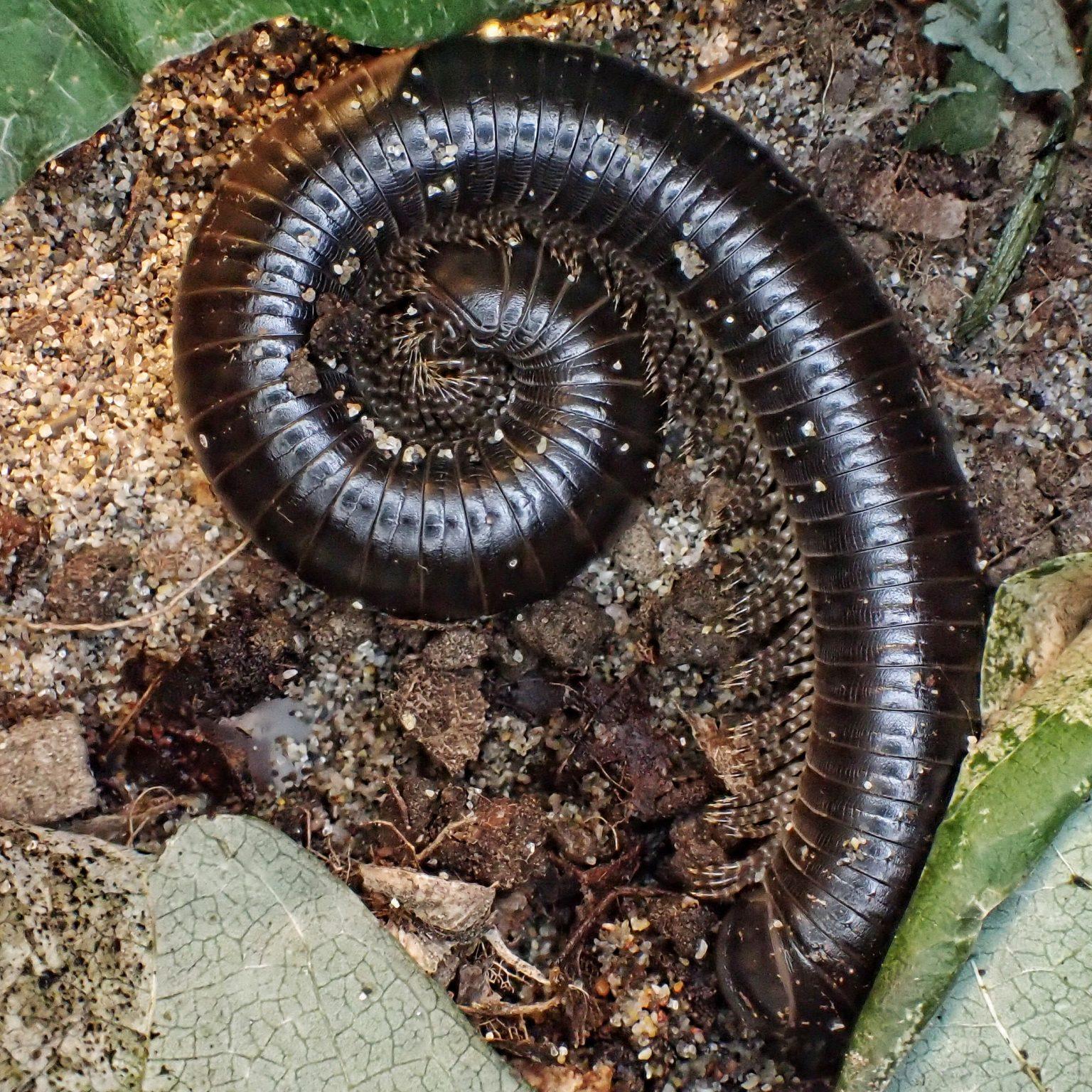 Tylobolus uncigerus